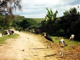 Hawassa - new urban park in construction and pelicans